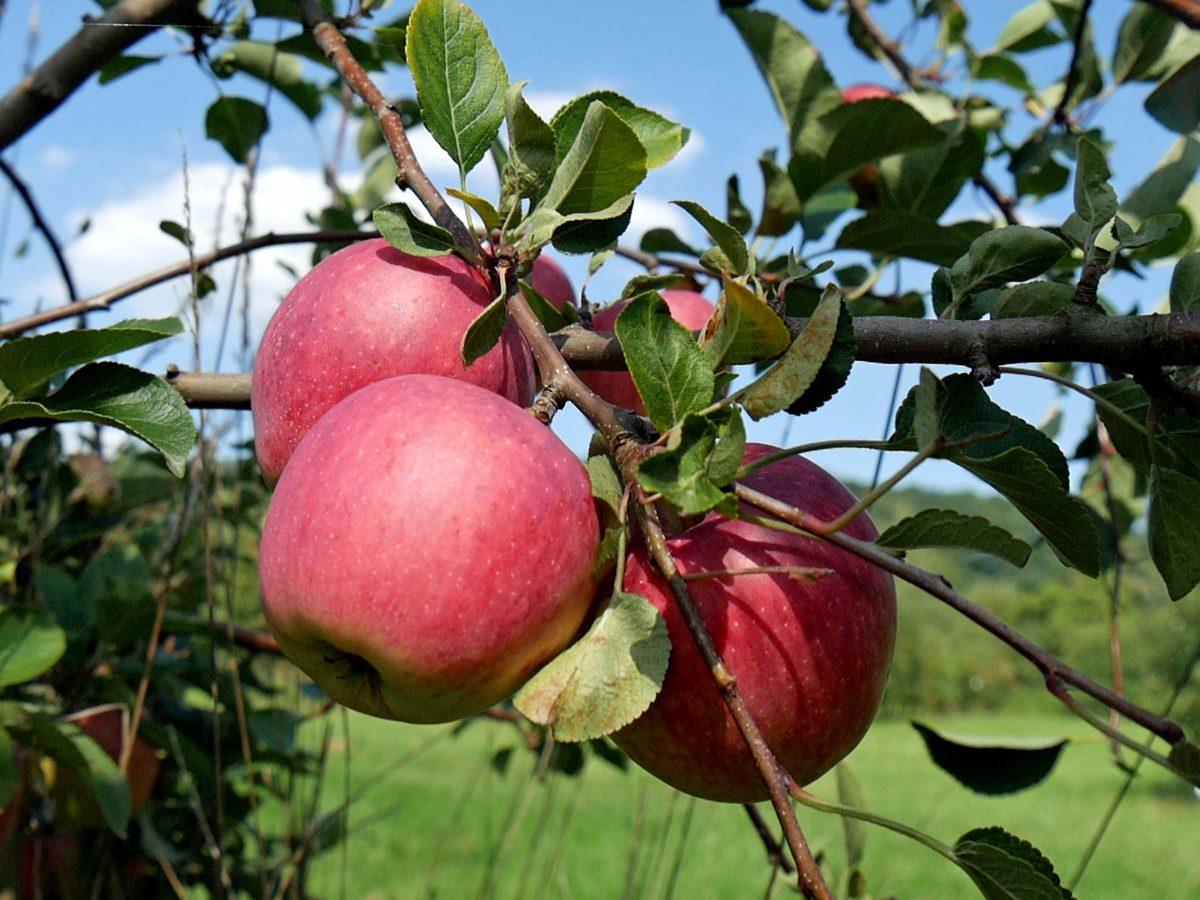 Äpfel ernten in Dresden