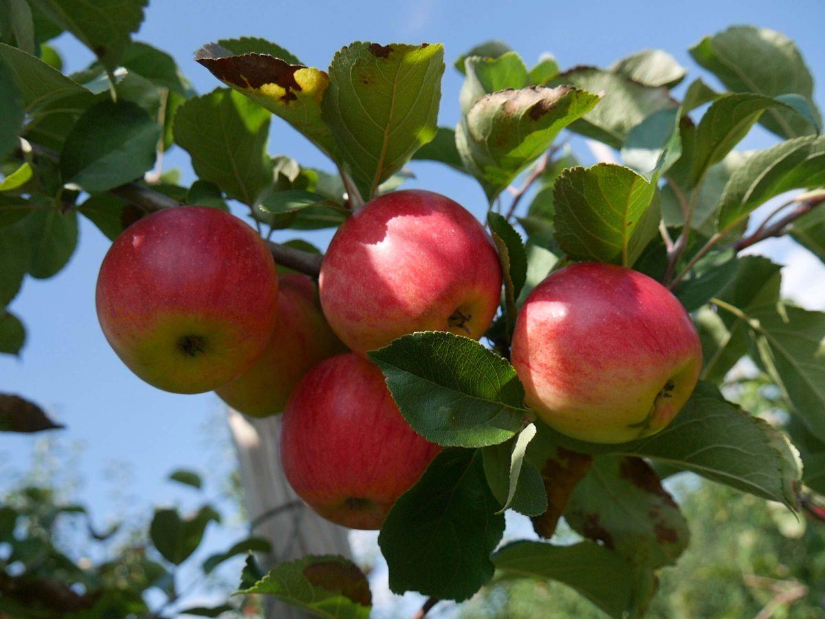 Äpfel selbst pflücken in Hosterwitz / Pillnitz