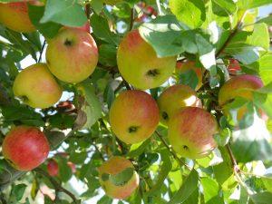 Apfelernte für Sie