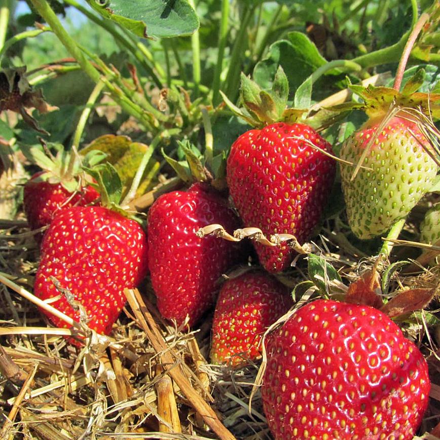 Erdbeeren, süße Früchtchen pflüchen