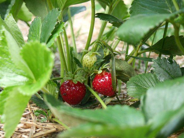 Erdbeeren Selbstpflücke Dresden-Pillnitz