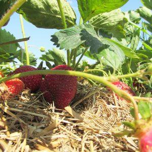 versteckt - reife Erdbeeren auf dem Feld