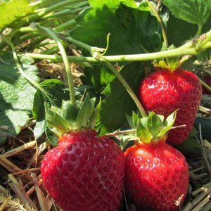 Erdbeeren zum Selberpflücken