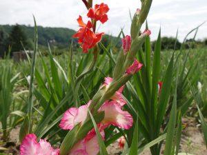 Gladiolen selber pflücken