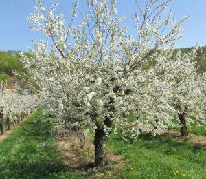 Blühende Kirschplantage Obsthof Rüdiger