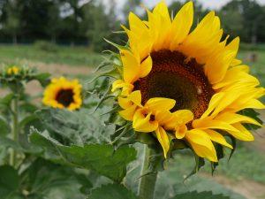 Sonnenblumen selber pflücken