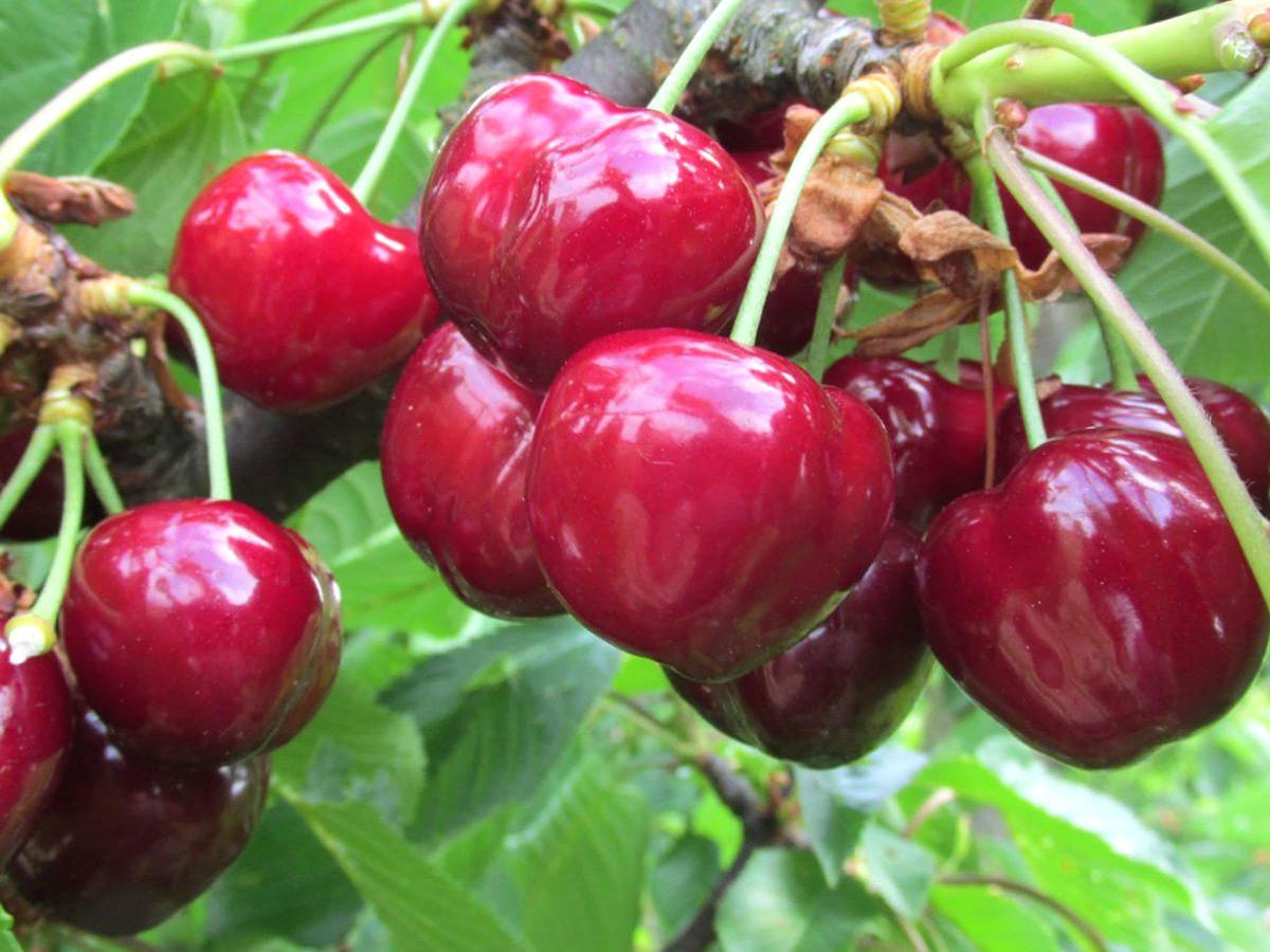 regionales Obst - Süßkirschen aus Pillnitz